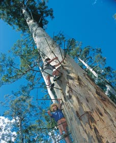 Dave Evans Bicentennial Tree - WA Accommodation
