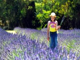 Brayfield Park Lavender Farm - WA Accommodation