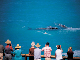 Whale Watching At Head Of Bight - WA Accommodation