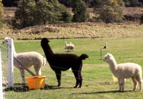 Maydena Country Cabins Accommodation  Alpaca Stud - WA Accommodation