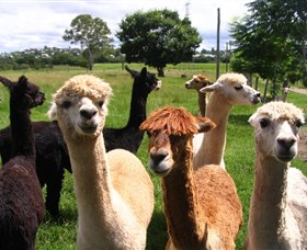 Banyandah Alpacas - WA Accommodation