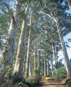 The Great Forest Trees Drive - WA Accommodation
