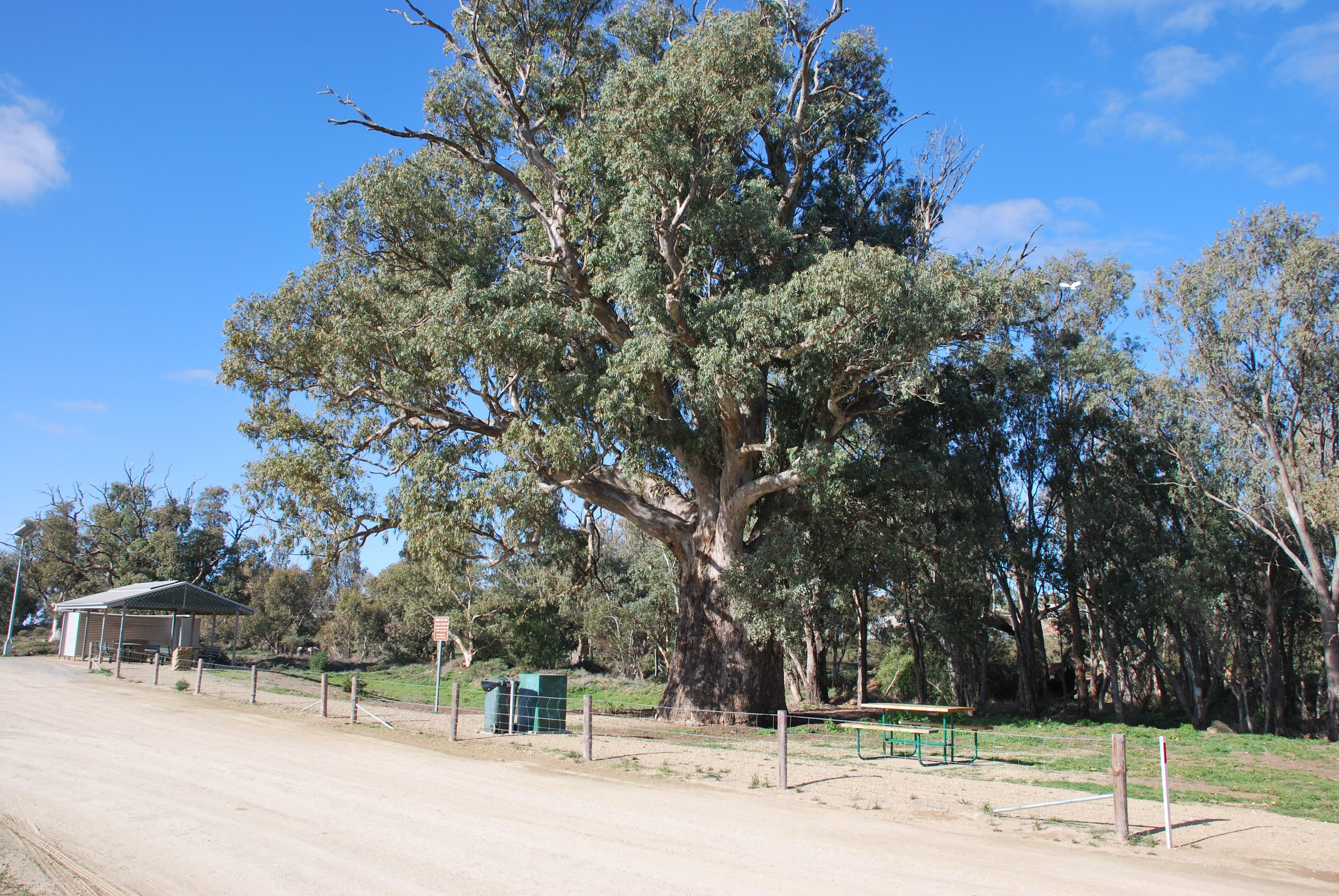 Giant Gum Tree - WA Accommodation