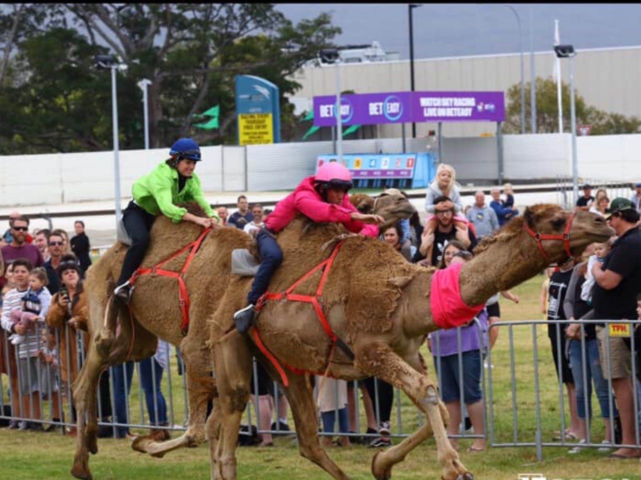 Camel Races at Gosford Showgrounds - WA Accommodation