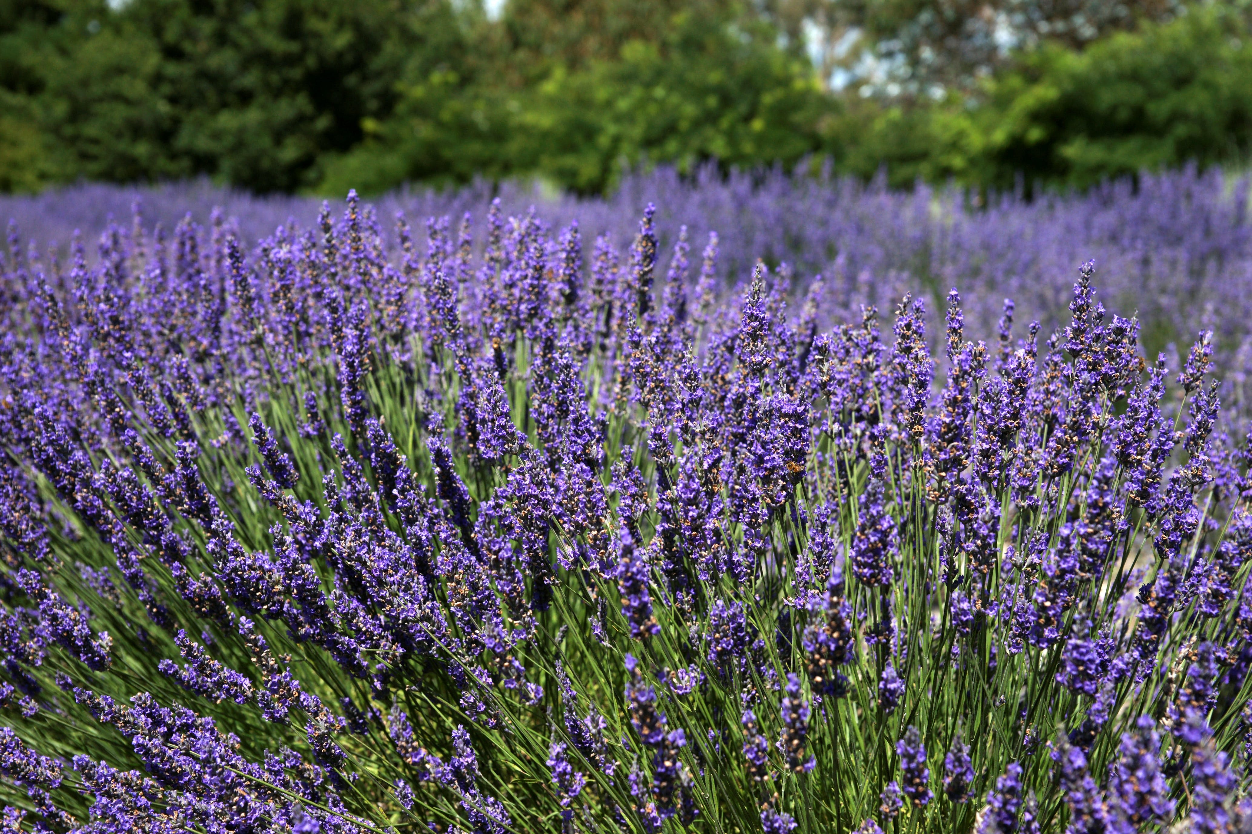 Lavender Herb and Chilli Festival - WA Accommodation